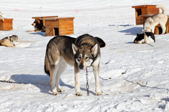 Treatment of sled dogs is morally indefensible