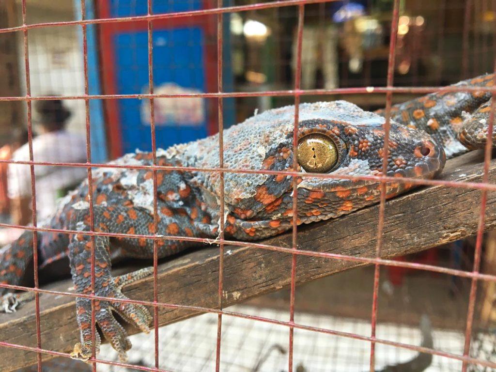 gecko-wildlife-trade